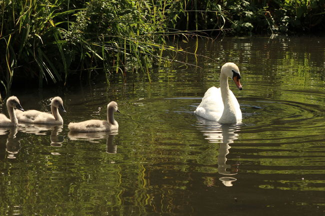 Beauty In Nature Bird Family Of Swans Lake Nature Reflection Rippled Swan Water Water Bird