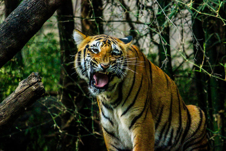 Close-up of a tiger in a forest