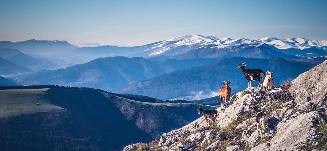 Goats on mountain during winter