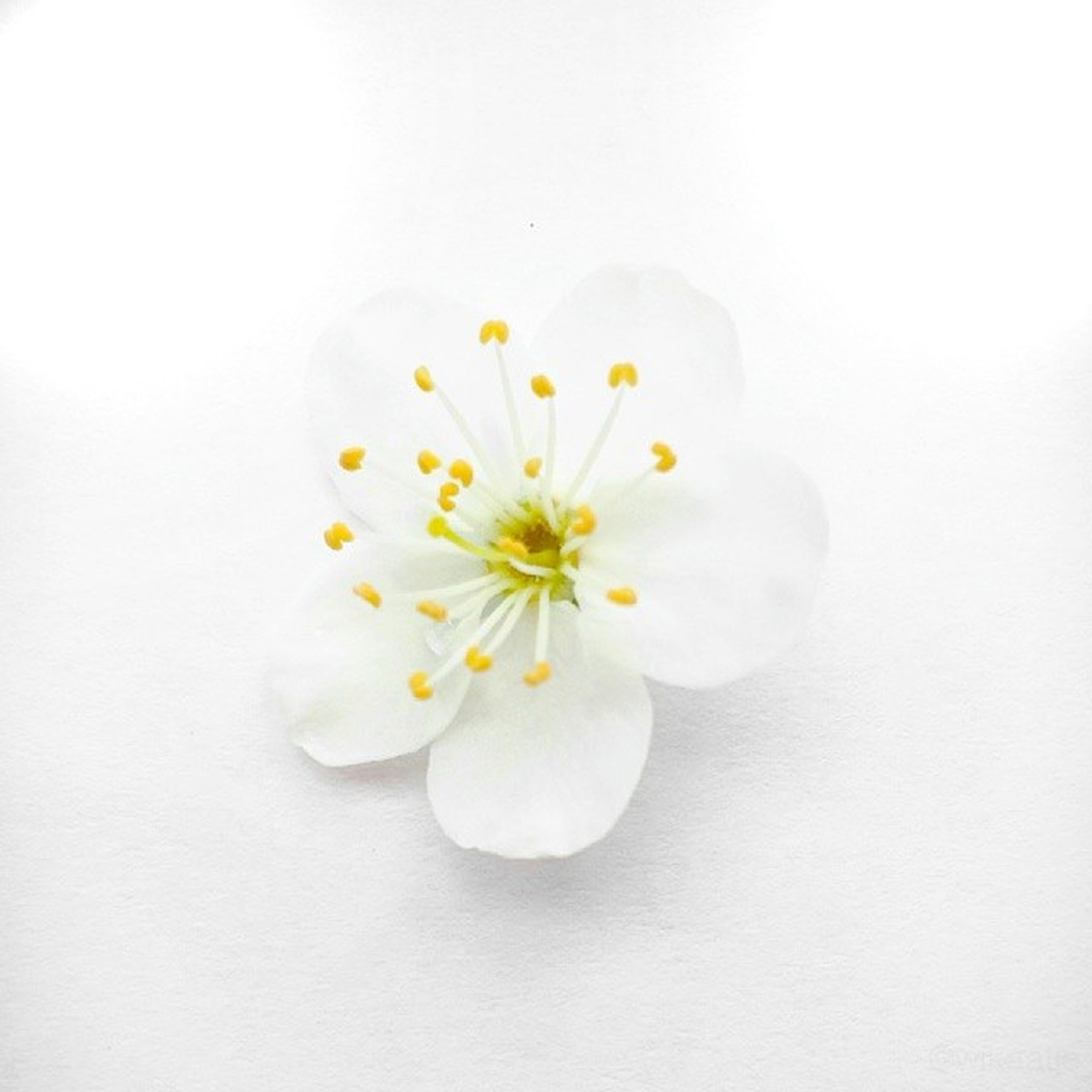 flower, white color, freshness, studio shot, white background, petal, fragility, flower head, copy space, close-up, white, indoors, beauty in nature, high angle view, still life, nature, pollen, no people, directly above, single flower