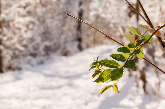 Natural Light Beauty In Nature Branch Close-up Day Focus On Foreground Fragility Freshness Green Color Growth Journey Into The Light Leaf Leaves Nature No People Outdoors Path In Nature Pathway In The Forest Plant Snow