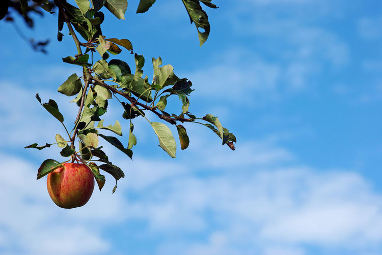 Apple Apple Tree Close-up Focus On Foreground Food Freshness Fruit Growth Leaf Nature No People Outdoors Sky Tree