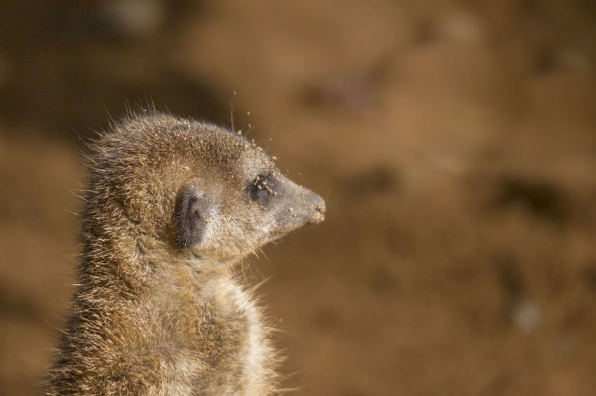 Animal Animal Themes Meerkat One Animal Animal Wildlife Animals In The Wild Mammal Animal Body Part Vertebrate Animal Head  No People Close-up Desert Focus On Foreground Looking Nature Alertness Cute Standing Side View Outdoors Profile View Small