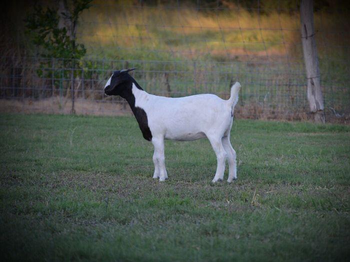 Goats Boer Goat