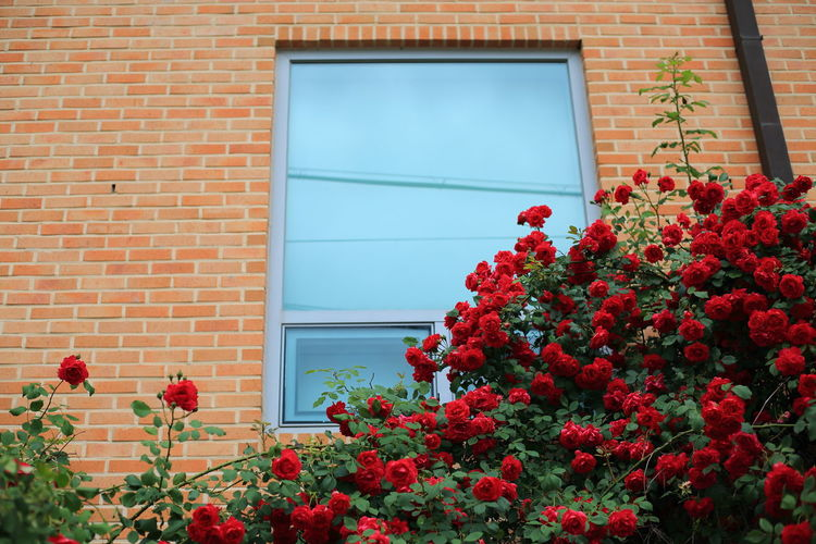 Red flowering plant against wall of building