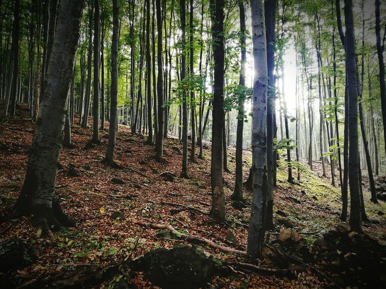 Forest Tree Trunk WoodLand Tree Nature Tranquil Scene Growth Tranquility Non-urban Scene Scenics Abundance Landscape Beauty In Nature Tall - High Day Outdoors Many Solitude Woods Tree Area Hungary Kékestető Erdő