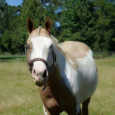Equus Horses Palomino Paint Gelding