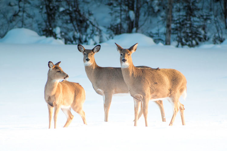 Animal Animal Themes Animals In The Wild Day Deer Deer Deer In The Snow Deer Of North America Doe Fawn Full Length Mammal No People Relaxation Relaxing Showcase February Side View Snow Standing Sunset On Deer Two Animals White Tailed Deer Wildlife Winter Wonderland Zoology