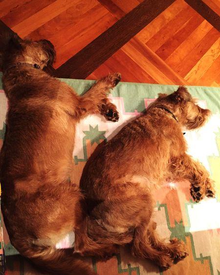 Dog Dogs Terrier Irishterrier Irish Terrier DogLove Puppy Love Love Spooning Cuddling