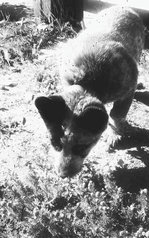 Blue Heeler pup curious about somthing in the grass.