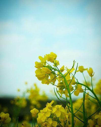 대저유채꽃축제 유채꽃 . .Photography Photographer 부산 Busan Spring Flower 일상 데일리 감성 감성사진 사진 여행 일상공유 Sotong 미러리스 Sky Follow Followme Photo Travel Daily Southkorea