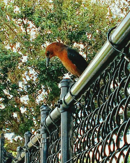 Animal Themes Bird Perched Fence Railing Animals In The Wild Focus On Foreground One Animal Tree Perching Day Zoology Chainlink Fence