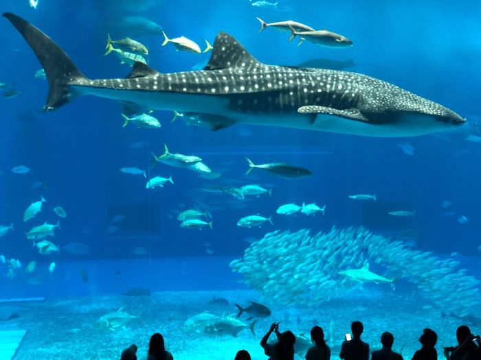 Aquarium in Okinawa, Japan. Whale shark with other fish. Underwater life. Sea Blue Animal Animals In The Wild Animal Themes Animal Wildlife Underwater Sea Fish Water Swimming Large Group Of Animals Aquarium Sea Life Marine Tank Whale Shark Group Of Animals Nature