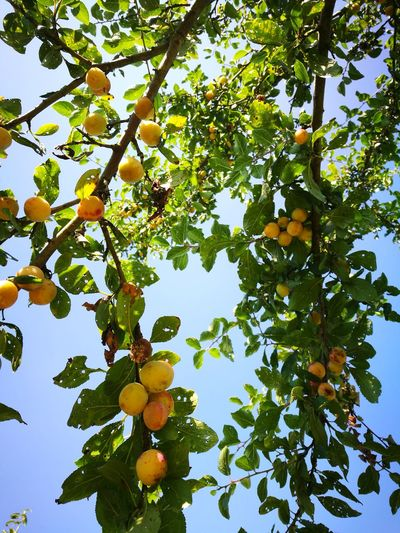 Summertime Blue Sky Plum Tree Country Life Enjoying Life Sunlight Plum Fruit Harvest The Great Outdoors - 2017 EyeEm Awards Sommergefühle