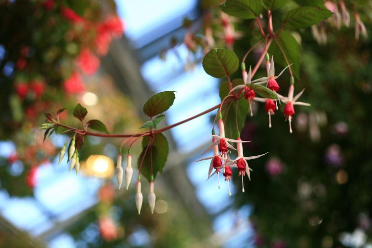 なばなの里 ベゴニアガーデン なばなの里 ベゴニアガーデン フクシア ホクシャ 花 Flower 赤 白 EOS Eos5d Canon