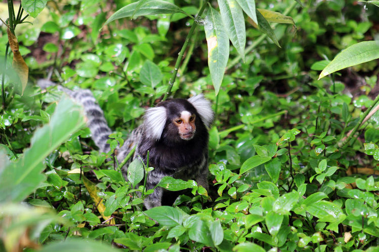 Common marmoset, callithrix jacchus, foraging on the ground, western cape, south africa