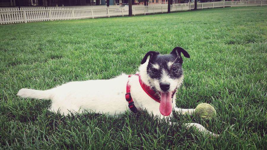 EyeEm Selects Dog Pets Green Color Domestic Animals One Animal Outdoors Lawn Grass Area No People Happy Dog Jack Russell Parson Russell Terrier Jack Russel Terrier Close-up Dogs PlayingBall