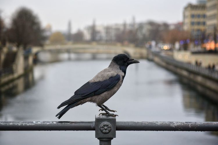 Close-up of bird perching on railing against river