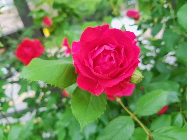 Rose - Flower Rose🌹 장미