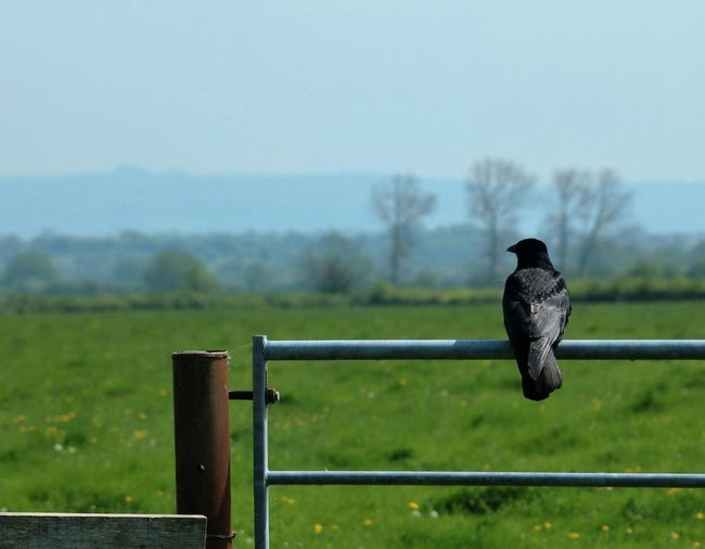 Close-Up Of Raven Perching On Fence