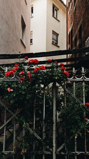 flowers & the city Cityscape City City Life Wild Roses In The Streets Of Stuttgart Stuttgart Old Fences Red Roses Roses Building Exterior Built Structure Architecture Plant Building No People Tree Nature Flower Residential District Flowering Plant Growth Red Wall - Building Feature Window Outdoors Day Low Angle View