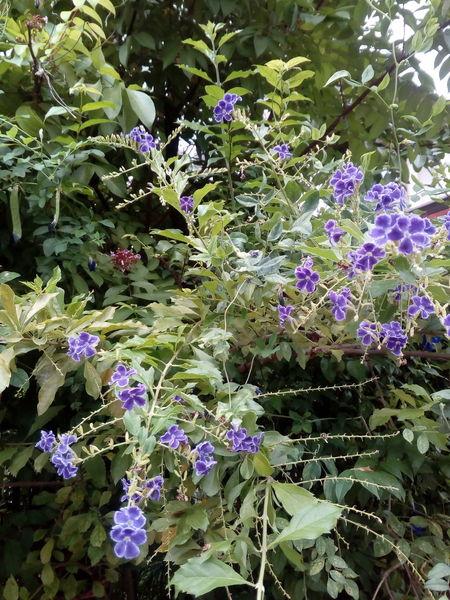 Golden Dewdrop Flower. Pigeon Berry Golden Dewdrop Duranta Flower Purple Branch Close-up Plant Blooming Blossom