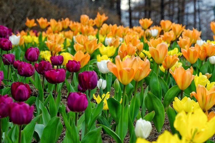 Bed of tulips at The Garden of Morning Calm. Tulips Bedofflowers Bedoftulip Gardenofmorningcalm Gapyeong Gyeonggi-do Seoul South Korea Koreatrip Springinkorea Springtime Flowers Garden Flowerporn Nature Nature Photography Colorful Colorfulflowers Fujifilm Fujifilmxt10 Fujixt10