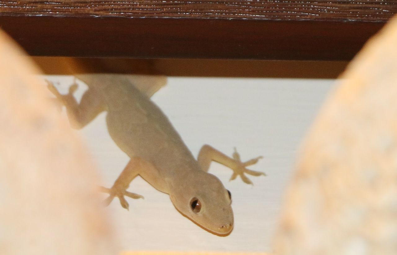 CLOSE-UP OF LIZARD ON GLASS