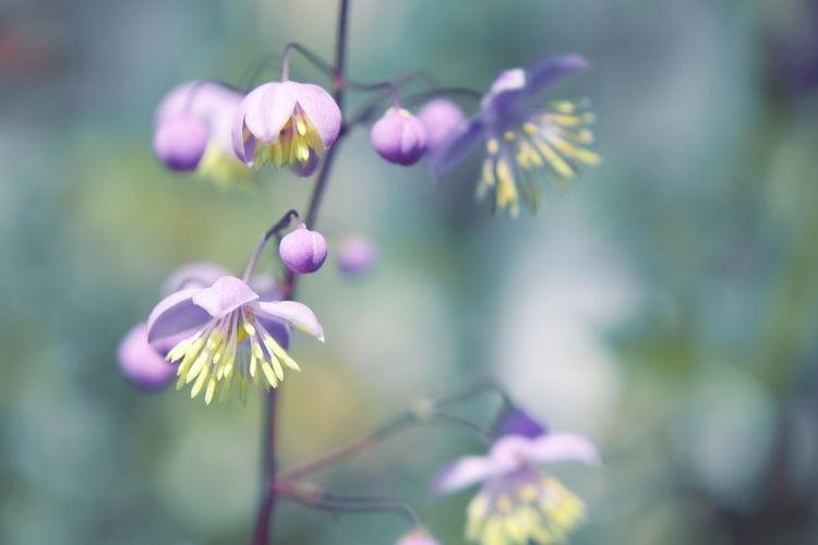 Freshness Green Nature Soft Yunnan Meadow Rue Flower Flower Head Focus On Foreground Fragility Pistil Purple Purple Flower