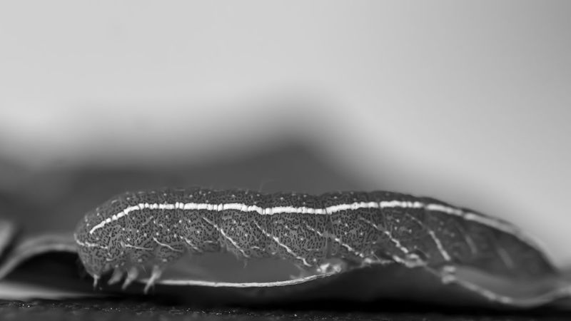 Black And White Bnw_friday_eyeemchallenge Caterpillar Close-up Extreme Close Up Extreme Close-up Inchworm Insect Macro Macro Insects Macro Photography Macro_collection Nature Nature Photography Nature_collection