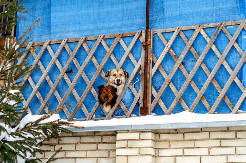 Two dogs look through hole in fence, guarding the area