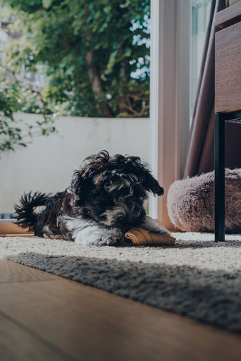 Cute black and white 2 months old havanese puppy playing with a chew on a rug, inside an apartment.
