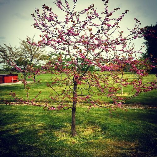 Erguvan / Judas Tree Blossom Trees
