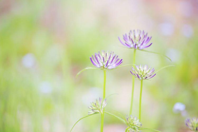 Flower Nature Purple Beauty In Nature Sapporo Hokkaido EOS 6D