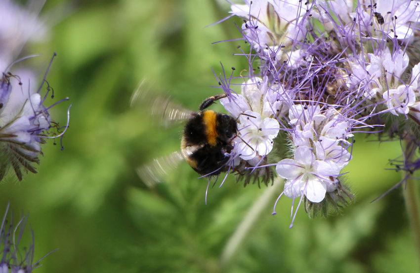 bumblebee Animal Themes Animals In The Wild Beauty In Nature Bee Bumblebee Buzzing Close-up Day Flower Flower Head Fragility Freshness Growth Insect Nature No People One Animal Outdoors Phacelia Plant Pollination