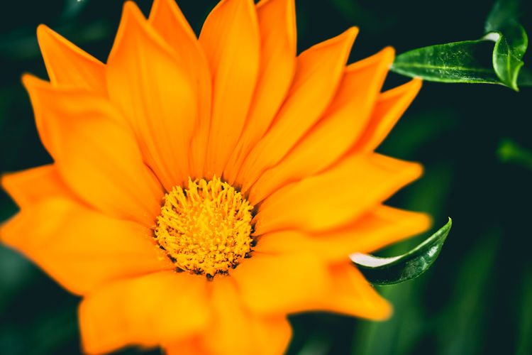 Dat colour Orange Beauty In Nature Blooming Close-up Day Flower Flower Head Fragility Freshness Growth Nature No People Orange Color Outdoors Petal Plant Pollen Yellow Maximum Closeness