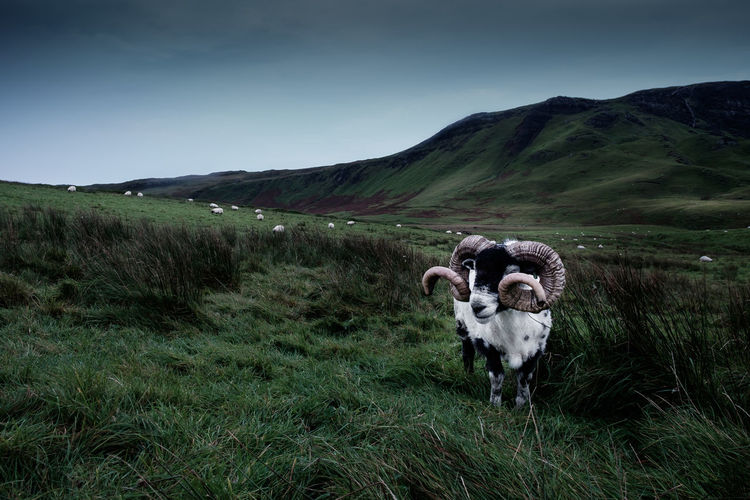 Another shot of my favorite model and his friends. What is your favorite animal model? Location: Isle Of Skye, Scotland Equipment: Fujifilm X-T1 + XF18-55 Agriculture Animal Animal Close Up Animal Head  Animal Themes Beauty In Nature Black Color Cold Temperature Day Domestic Animals Field Goat Grass Isle Of Skye Landscape Livestock Mammal Mountain Nature No People Outdoors Scotland Sheep Sky Winter The Great Outdoors - 2017 EyeEm Awards Lost In The Landscape