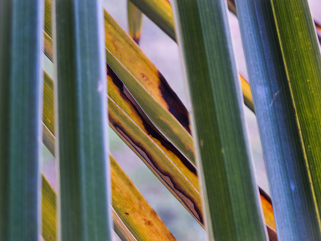 Horizontal and vertical lines formed by intersections of palm leaves Evegreen Vivid Colours  Backgrounds Close-up Diagonal Lines Dwarg Palm Geometry Geometry In Nature Green Color Green Leaves Leaves Outdoors First Eyeem Photo