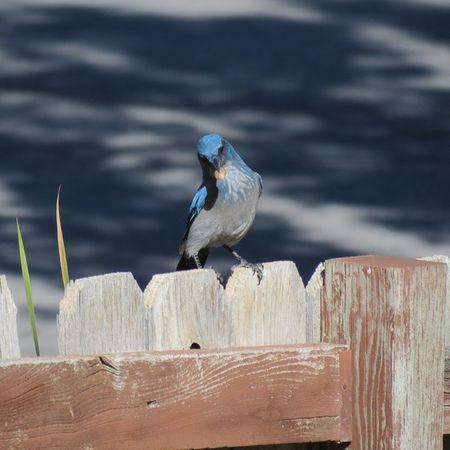 Scrubjay Utah Birds Canon canonsx40hs kearns