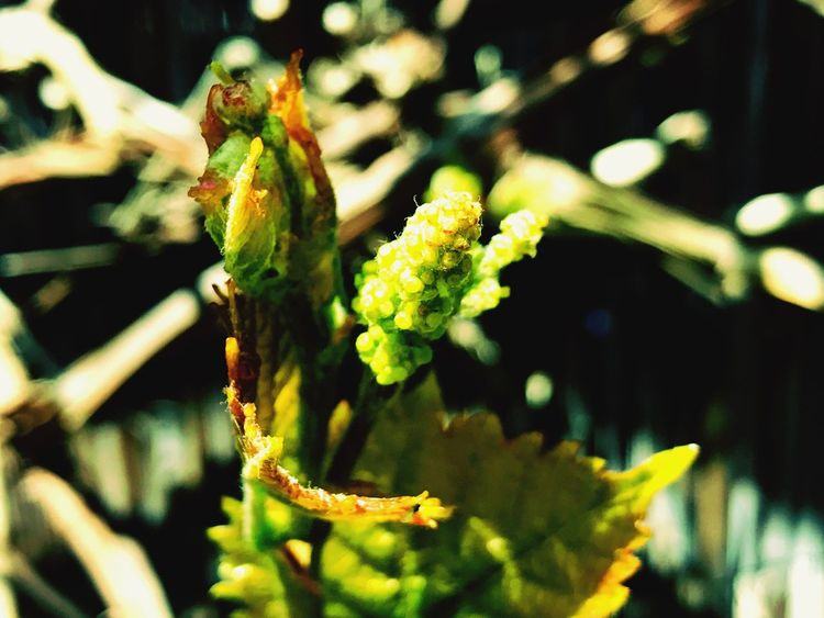 Focus On Foreground Plant Green Color Nature No People Growth Wine Grapes Future Vision Beauty In Nature Springtime Nature Awakening Close-up Day Outdoors Beauty In Nature Leaf Flower Freshness Fragility