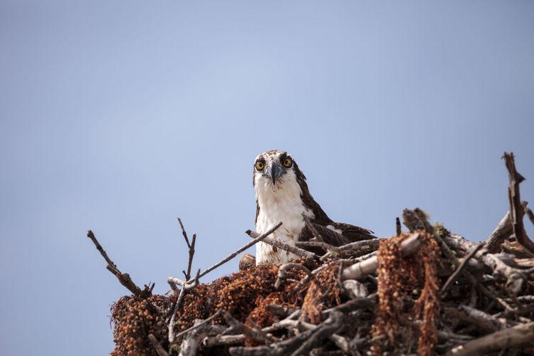Osprey bird of prey pandion haliaetus in a nest at barefoot beach in bonita springs, florida