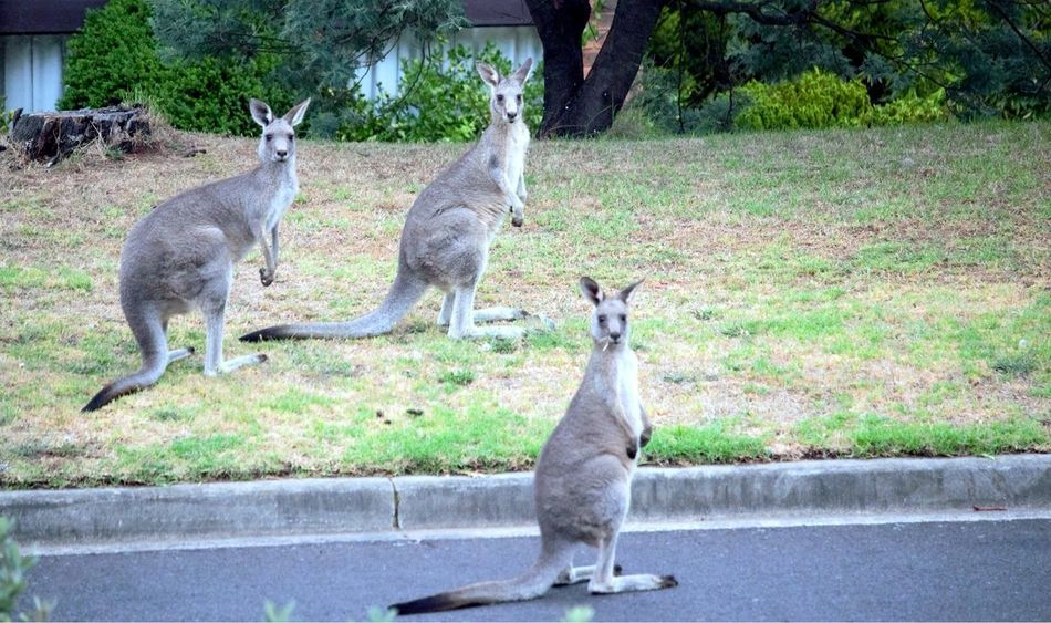 Threes company ... Traffic Obstacle Road Animals Feeding Nature On Your Doorstep Nature Photography Animal Photography Nature_collection Animal_collection Wild Animals Australia_collection Australian Wildlife Austrianphotographers Marsupial Kangaroos Animal Themes Animals In The Wild Animal Wildlife Day Standing Young Animal Animal Family No People Full Length Nature Outdoors Tree