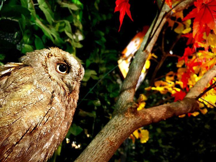 Owl Kyoto ふくろうカフェ フクロウ