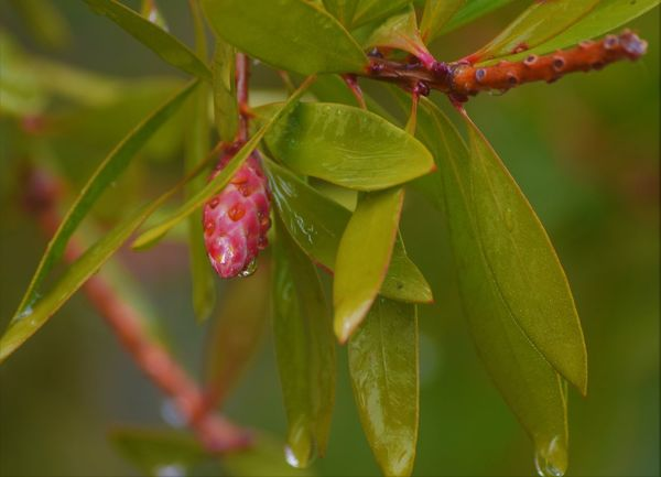 Beauty In Nature Close-up Day Drop Focus On Foreground Food And Drink Freshness Fruit Green Color Growth Leaf Nature No People Outdoors Plant Red