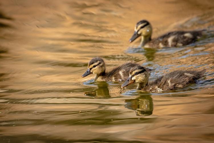 Young ducks swimming in lake