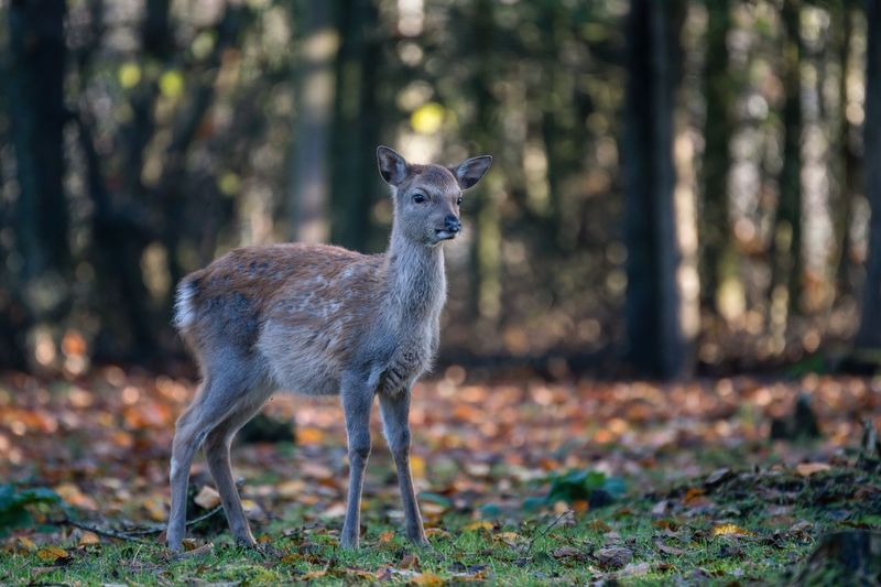 Sika Hirschkalb Hirschkalb SIKA Deer Sika Deer Schleswig-Holstein Sherleben Animal Themes Animal Animal Wildlife One Animal Animals In The Wild Mammal Vertebrate Nature Deer Outdoors Field Tree