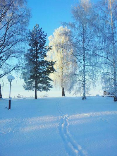 Birch Tree Winter Snow ❄ Wintertime In Sweden