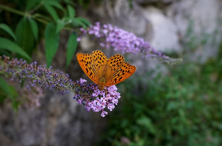 Butterfly - Insect Flower Insect Nature Plant No People Animal Wildlife Outdoors Beauty In Nature Landscape Fragility Animals In The Wild Spread Wings Freshness Animal Themes Day Flower Head Close-up Royal Person Sal24f20z Sony A7RII