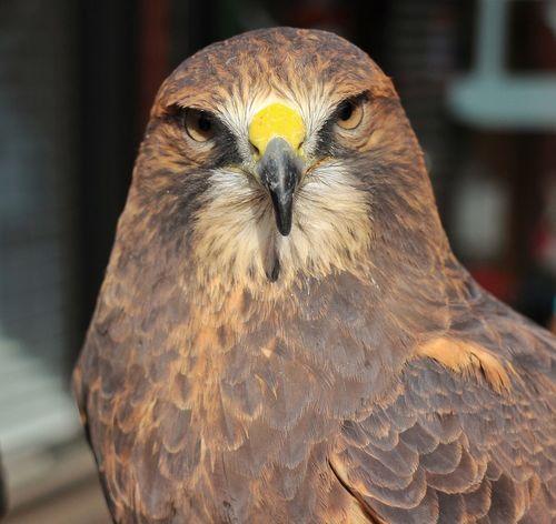 Bird Of Prey Birds Of Prey Hawk Hawkeye
