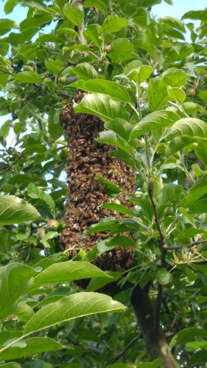 The Great Outdoors - 2015 EyeEm AwardsBees Bee 🐝 Swarm Tree